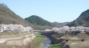 ダムと桜P1120743.JPG