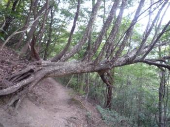 倒れた木P1020303.JPG