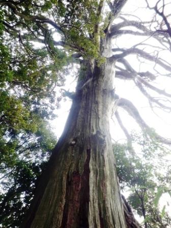 旧摩耶の大杉P1040491.JPG