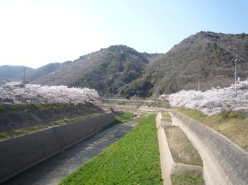 桜とつくはらP1120756.JPG