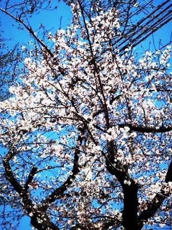 桜P1050053.JPG